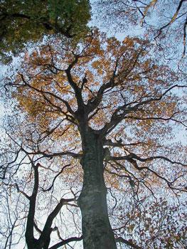 大滝山のブナの木